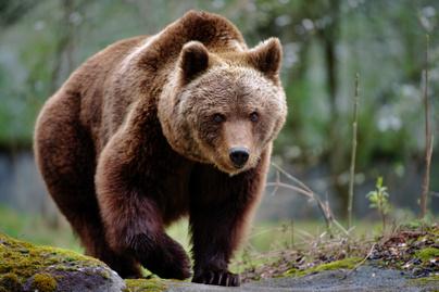 medve-borító
