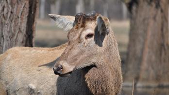 Figyelmeztetik az erdőjárókat, vigyázzanak a szarvasokra