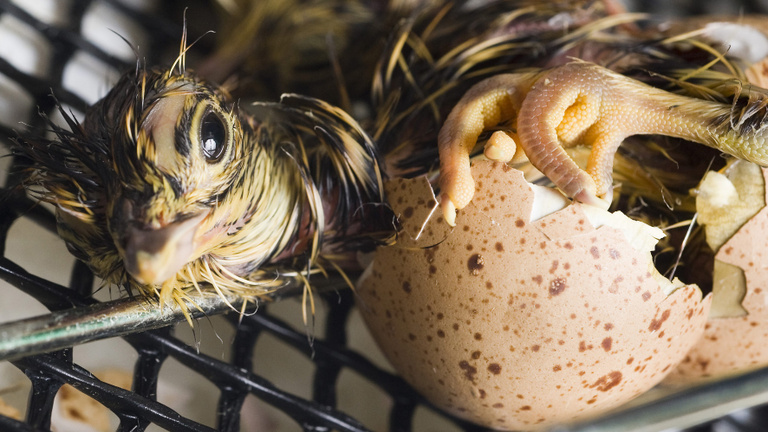 Akár 50 forint is lehet a tojás ára