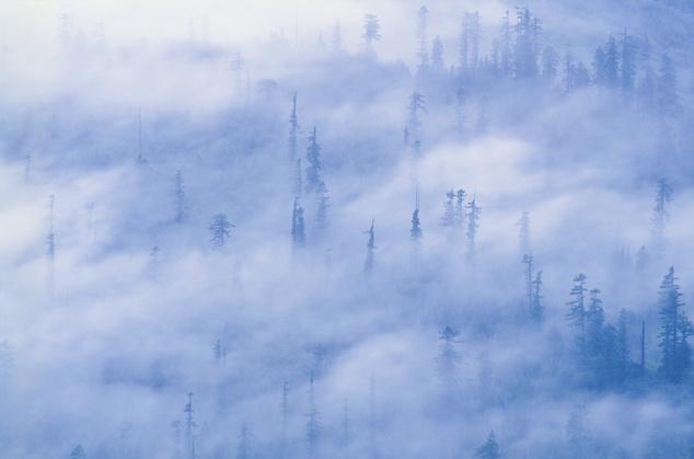Mamutfenyők a ködben