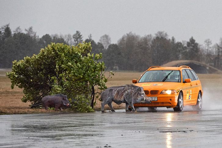 A jelenlegi joggyakorlat szerint vaddal szemben esélytelen az autós. Ha takarásból támad, a gyakorlatban is                         Forrás: ADAC