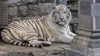 Széttépte gondozóját két szökött tigris