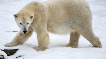 Nem akart szexet, ölt a jegesmedve