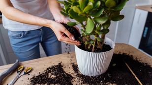 Milyen föld kell a szobanövényeknek? Szakértő segít, hogyan állíthatod össze a legjobbat