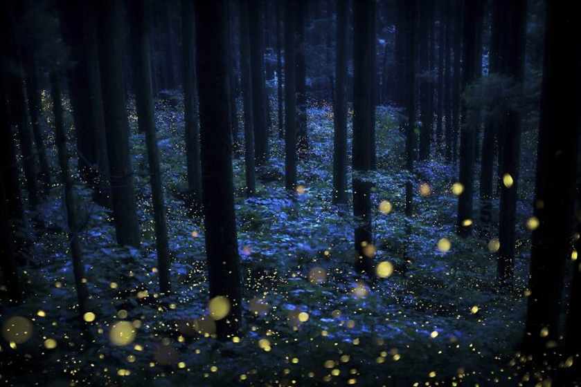 Varázslatos a szentjánosbogarak tánca az esti erdőben.