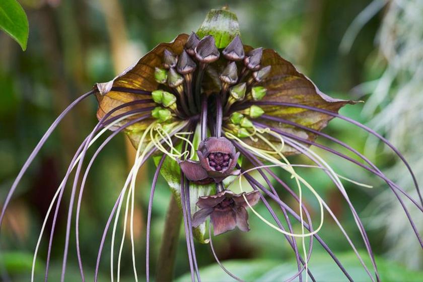 Az akár másfél méteresre megnövő denevérvirág Ázsiában őshonos, leginkább az esőerdőkben érzi jól magát a különleges külsejű növény.