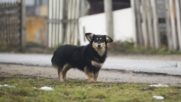Kutyák tízezrei kóborolnak Magyarországon
