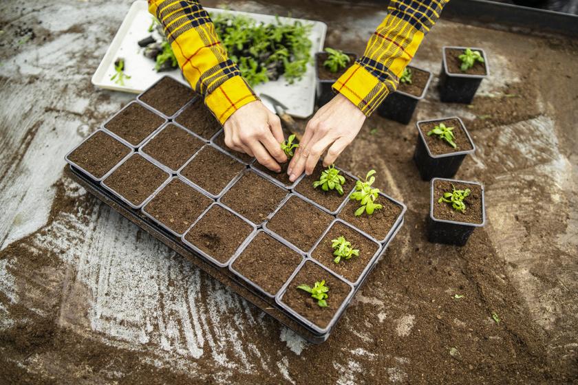 Hogyan lesz igazán életerős és masszív a palánta? Megyeri Szabolcs kertészt kérdeztük