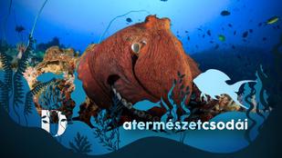 Csápjaikban hordják az agysejtjeiket, bosszúból halakat vernek a polipok