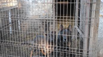 Rettenetes körülmények között raboskodó kutyákat találtak egy telepen
