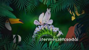 A világ legszebb rovara a megtévesztésig hasonlít egy orchidea virágára