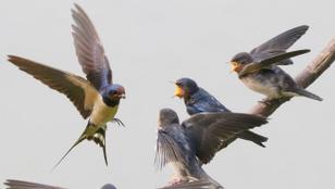 Rohamosan csökken a fecskeállomány – te is tehetsz a madarak megmentéséért!