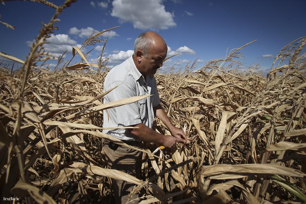 Urbán Imre mutatja elszáradt kukoricáját Őest megyei Kartalon augusztus 27-én. Több mint 400 milliárd forint kár érte eddig magyar mezőgazdaságot a szárazság miatt a nyáron.
