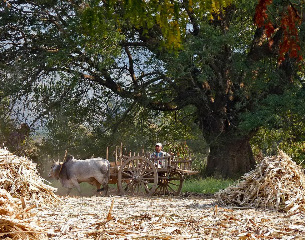 A szállítás komfortosabb, lassú, de még mindig olcsó módja az ökrös fogat. A mezőgazdasági területeken széles körben használatos, itt éppen a főzéshez előkészített cukornád szállításához használják.
