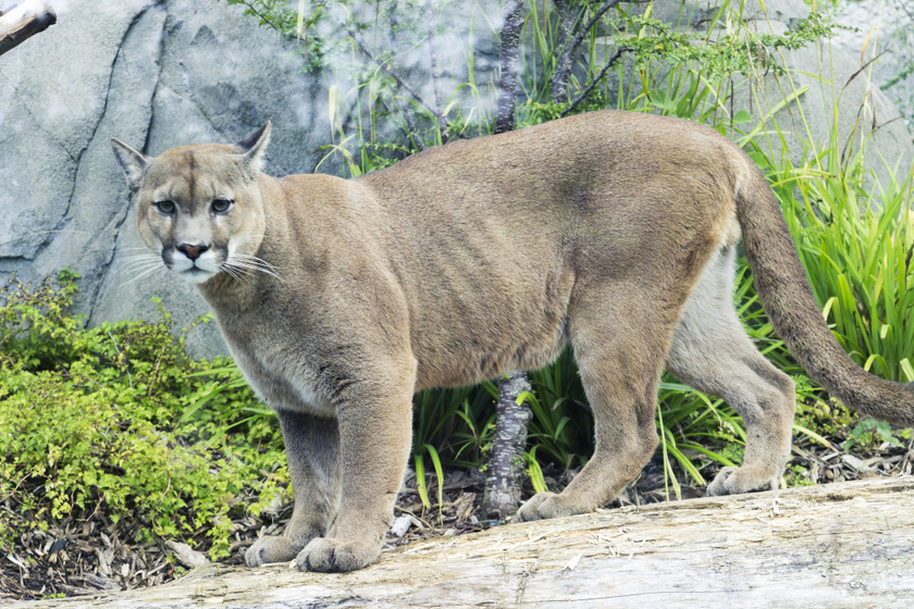 A puma (Puma concolor) megdöbbentő módon akár 5 méter magasra is felugrik, vagyis könnyűszerrel fel tudna pattanni egy zsiráf fejére.