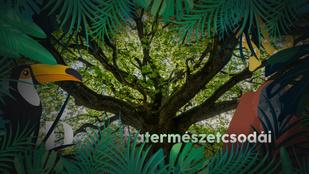 Így jelzik egymásnak a fák, ha baj van: meglepő, de ők is kommunikálnak egymással