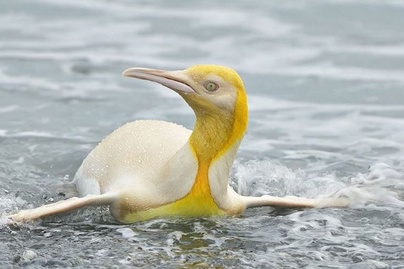 sárga-pingvin-borító