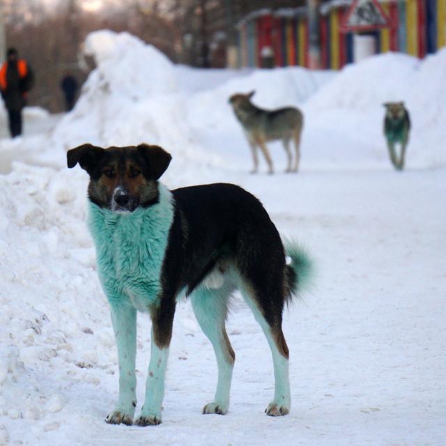 Bizarr rejtély: kék és zöld bundájú kutyák bukkantak fel Oroszország több pontján