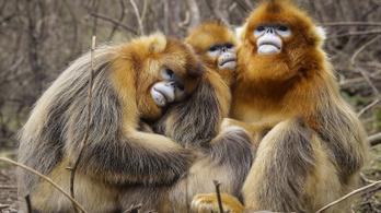 Kína arcfelismerő technológiával forradalmasítja a majmok tanulmányozását