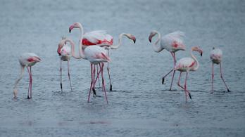 Bajban vannak a flamingók a sörétes vadászat miatt
