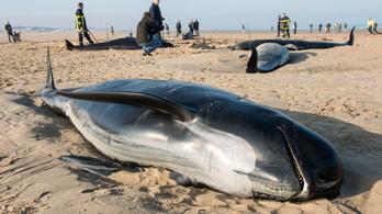 Rengetegen küzdöttek a hosszúszárnyú gömbölyűfejű delfinek életéért