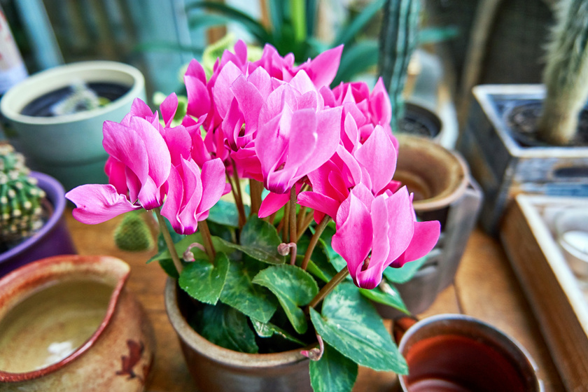 Szobai ciklámen (Cyclamen persicum) - ugyan a dekoratív növénynek a levelei és a virágzata csak enyhén mérgező, a gumója lenyelése súlyos mérgezést okoz. Emésztőszervi fájdalom, allergiás roham, görcsök jelentkeznek, de az idegbénulás és sajnos halálos kimenetel sem kizárt.