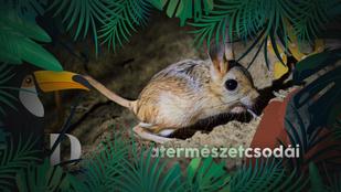 Ez az apró rágcsáló miniatűr kenguruként akár egyméteres ugrásokra is képes