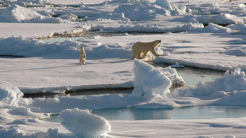Jegesmedvék miatt hiúsulhat meg az olajkitermelés az alaszkai vadonban