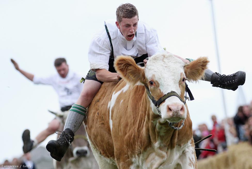 Négyévente rendeznek tehénderbit Németországban (az idei, augusztusi verseny volt az ötödik). A versenyen a zsokék szerszámok nélkül ülik meg a teheneket, a verseny után pedig néhányat el is fogyasztanak.