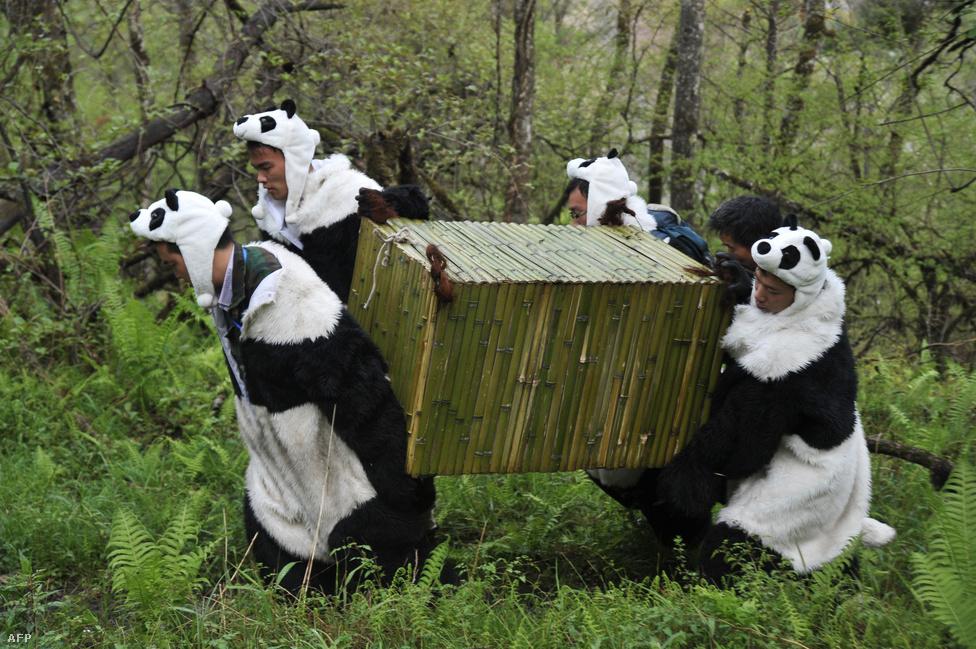 Pandának öltözött ápolók visznek egy medvét a Wolong rezervátumba Kínában, ahol fokozatosan engedik szabadon a fogságban nevelt állatokat. A pandák nehezen tanulják az önálló életet, a harminc éve futó programban eddig mindössze két állatot sikerült a vadonhoz szoktatni.