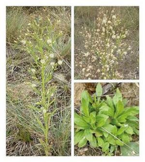 A betyárkóró (Conyza canadensis) habitusképe, tőlevélrózsája és terméses virágzata a fülöpházi homokpusztagyepben. A növény apró, bóbitás terméseit a szél gyorsan terjeszti.