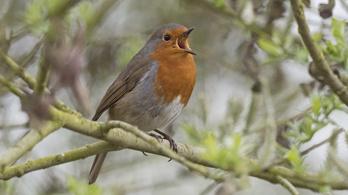 Itt a tavasz: sípot osztanak ma a madaraknak