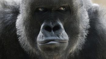 Koronavírussal diagnosztizáltak két oroszlánt és egy gorillát
