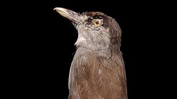 Előkerült a legtitokzatosabb madár