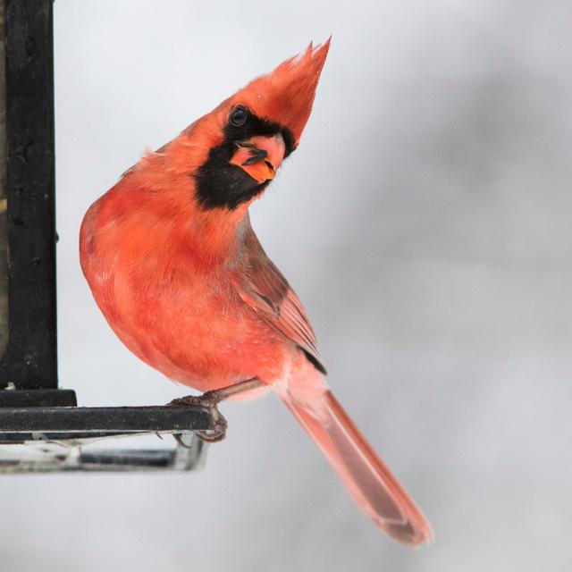 Egyik oldala hím, a másik nőstény ennek a madárnak: ritkán látni ilyen állatot
