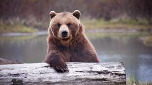 Kézre kerítik a marosvásárhelyi medvét