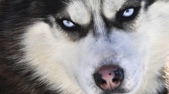 Édesdeden átaludta a fegyveres rablást Lucky, a husky kutya
