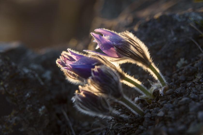 Magyarországra is megérkezett a tavasz - Különleges virágok is előbújtak az országban