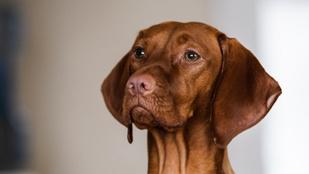 A kutyák biztosabban azonosítják a rákot, mint a szűrés – mondja egy új kutatás