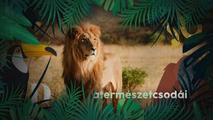 Miért ölik meg a hím oroszlánok más oroszlánok kölykeit?