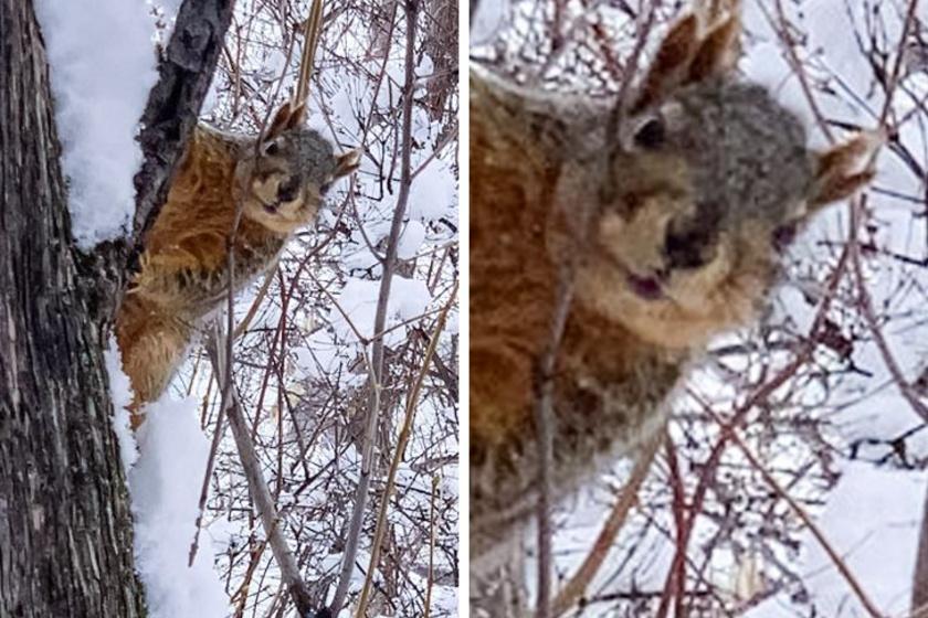 Láttál már valaha négyfülű mókust? Egy férfi kertjében tűnt fel az igazán különleges állat.