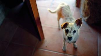Járványszerűen terjed a kutyalopás Angliában