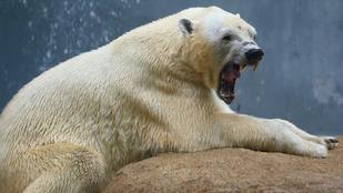 Jegesmedve támadt egy férfire Norvégiában