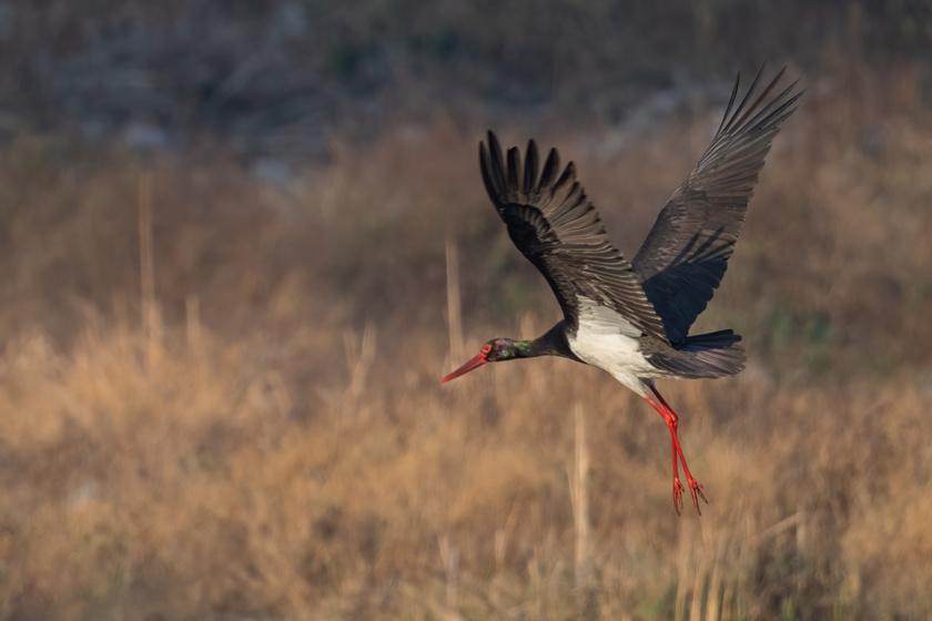 fekete-gólya1