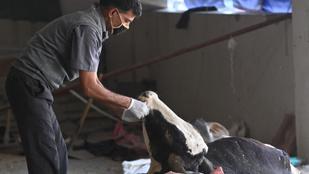 Hetvenegy kiló szemét volt egy tehén gyomrában