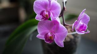 Így gondozd az orchideát, hogy szép maradjon a virága