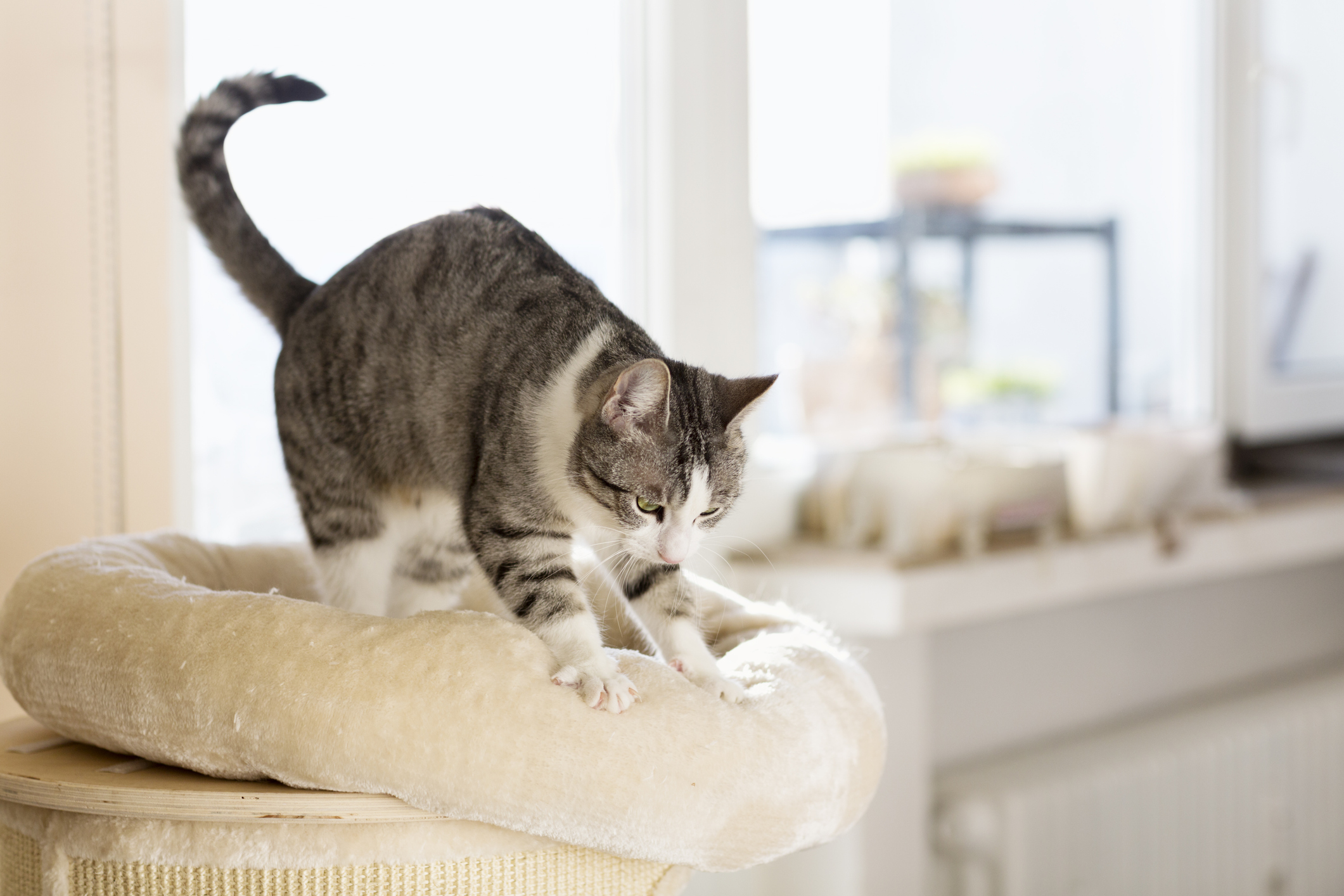 Mit jelez, ha a cica dagasztani kezd?