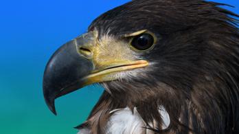 Elhullott vadmadarak tetemeiből mutatta ki a madárinfluenza-vírust a Nébih
