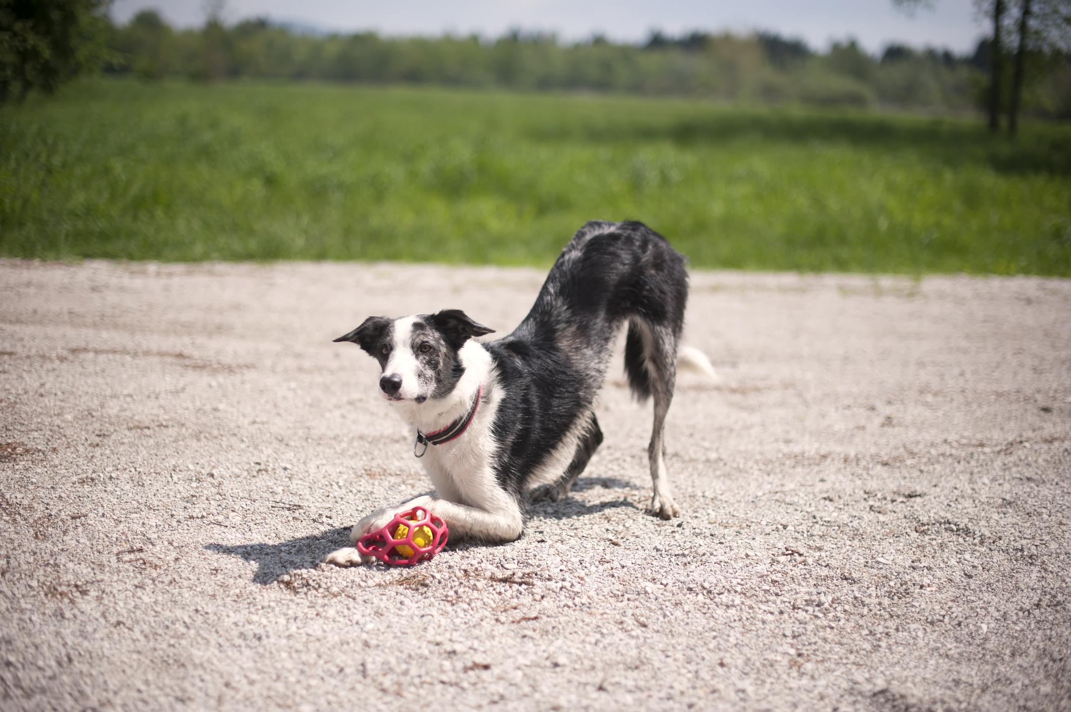 Mit üzen a kutyus, ha mellső lábára támaszkodva farát az égnek emeli?