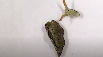 Ez a csiga levágja a fejét és új testet növeszt